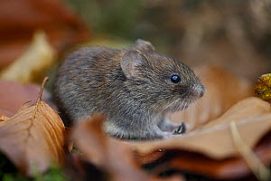 Bank vole {Clethrionomys glareolus} among autumn leaves and moss, Peak District NP, Derbyshire, UK - Paul Hobson