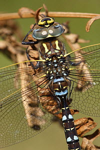 Common hawker {Aeshna juncea} adult male, Derbyshire, UK  -  Paul Hobson