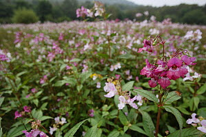 Himalayan Balsam {Impatiens glandulifera} mass of flowers, Peak District NP, Derbyshire, UK  -  Paul Hobson