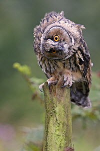 Long-eared owl {Asio otus} juvenile perched on pine stump, head tilted looking curious, UK. Captive  -  Paul Hobson