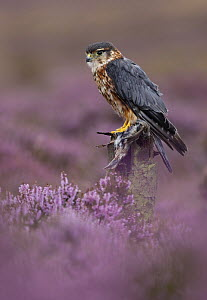 Merlin {Falco columbarius} male perched on post in purple heather with bird prey, Peak District NP, Derbyshire, UK Captive. - Paul Hobson
