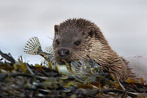 European river otter {Lutra lutra} feeding on Short-spined scorpion fish, among seaweed, Isle of Mull, Inner Hebrides, Scotland, UK - Paul Hobson