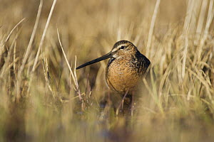 Long-billed Dowitcher (Limnodromus scolopaceus) in breeding habitat, Point Barrow, National Petroleum Reserves, Arctic Alaska, USA. June - Roy Mangersnes