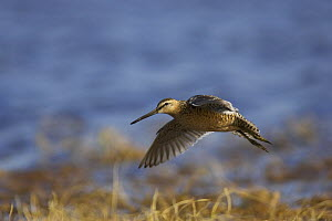 Long-billed dowitcher (Limnodromus scolopaceus) in flight at breeding habitat off Point Barrow, National Petroleum Reserves, Arctic Alaska, USA. June - Roy Mangersnes