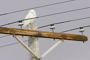 Snowy owl (Bubo / Nyctea scandiaca) perched on  electric pole off Point Barrow, National Petroleum Reserves, Arctic Alaska, USA. June - Roy Mangersnes