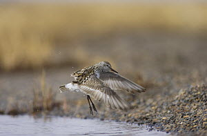 Semipalmated sandpiper (Calidris pusilla) landing at a pond off Point Barrow, National Petroleum Reserves, Arctic Alaska USA. June - Roy Mangersnes