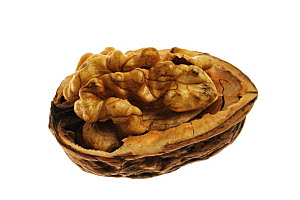 Common walnut (Juglans regia) kernel nut exposed in shell, native to Southern Europe and Asia  -  Philippe Clement