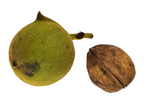 Common walnut (Juglans regia) fruit and nut, native to Southern Europe and Asia  -  Philippe Clement