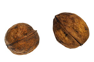 Common walnuts (Juglans regia) native to Southern Europe and Asia  -  Philippe Clement