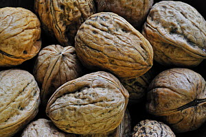 Common walnuts (Juglans regia), native to Southern Europe and Asia  -  Philippe Clement