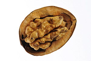 Common walnuts (Juglans regia) seed exposed in shell, native to Southern Europe and Asia  -  Philippe Clement