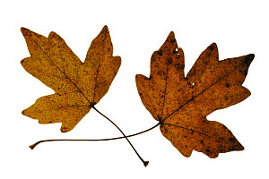 Field maple (Acer campestre) leaves in autumn colours, Europe  -  Philippe Clement