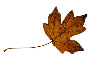 Field maple (Acer campestre) leaf in autumn colours, Europe  -  Philippe Clement