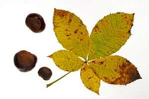 Horse chestnut (Aesculus hippocastanum) conkers and leaves in autumn colours, Belgium - Philippe Clement
