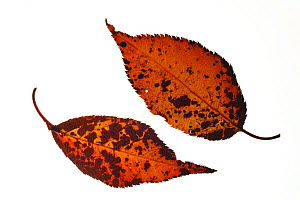Japanese / Hill / Oriental cherry (Prunus serrulata) leaf in autumn colours, native to Japan, Korea and China  -  Philippe Clement
