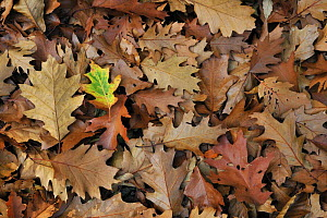 Fallen Northern red oak leaves (Quercus rubra) on forest floor in autumn, Belgium  -  Philippe Clement