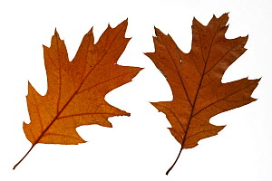 Northern red oak (Quercus rubra) leaves in autumn colours, native to North America  -  Philippe Clement