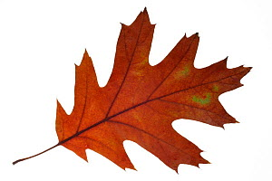 Northern red oak / Champion oak (Quercus rubra) leaf in autumn colours, native to North America  -  Philippe Clement