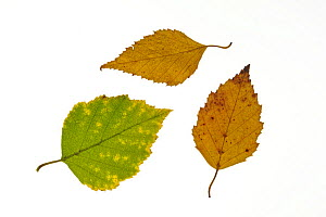 Paper / American white / Canoe birch (Betula papyrifera) leaves in autumn colours showing colour change, native to northern North America  -  Philippe Clement