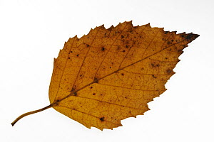 Paper / American white / Canoe birch (Betula papyrifera) leaf in autumn colour, native to northern North America  -  Philippe Clement