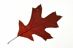 Scarlet oak (Quercus coccinea) leaf in autumn colours, native to North America  -  Philippe Clement