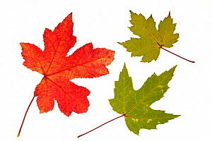 Silver / Creek / River maple (Acer saccharinum) leaf in autumn colours, native to eastern North America  -  Philippe Clement
