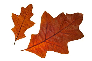 Southern red / Spanish / Swamp red oak (Quercus falcata) leaves in autumn colours, native to the southeastern United States  -  Philippe Clement
