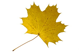 Sugar maple (Acer saccharum) leaf in autumn colours, native to North America  -  Philippe Clement