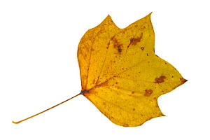 Tulip tree / Tulip poplar / Yellow poplar (Liriodendron tulipifera) leaf in autumn colours, native to eastern North America - Philippe Clement