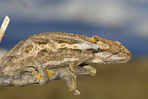 Robertson dwarf chameleon (Bradypodion gutturale) camouflaged on branch, Little Karoo, South Africa  -  Tony Phelps