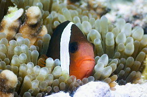 Dusky / Red and black anemonefish (Amphiprion melanopus) amongst tentacles of Bubble tip anemone (Entacmaea quadricolor) Raja Ampat, West Papua, Indonesia. - Georgette Douwma