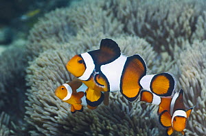 Clown anemonefish (Amphiprion percula) female with two small males. Raja Ampat, West Papua, Indonesia.  -  Georgette Douwma