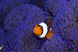 Clown anemonefish (Amphiprion percula) amongst tentacles of a blue variety of anemone (Stichodactyla gigantea) Raja Ampat, West Papua, Indonesia.  -  Georgette Douwma
