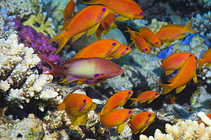Lyretail anthias / Goldie (Pseudanthias squamipinnis) male with 'harem' of females. Red Sea, Egypt.  -  Georgette Douwma