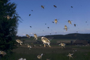 Large number of Honey bees {Apis mellifera} flying to hive, Europe, August  -  Laurent Geslin