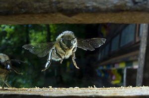Honey bee {Apis mellifera} flying into hive, Europe, August  -  Laurent Geslin