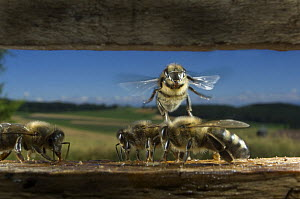 Honey bee {Apis mellifera} working bees flying into hive, Europe, August  -  Laurent Geslin