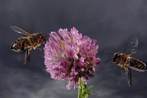 Honey bee {Apis mellifera} worker bees flying to feed on and collect pollen from Clover flower, Europe, August  -  Laurent Geslin