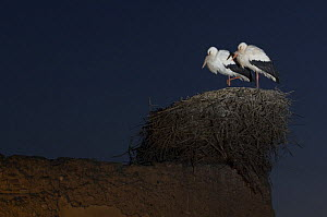 White stork {Ciconia ciconia} pair at nest at night, Marrakech, Morocco, January  -  Laurent Geslin