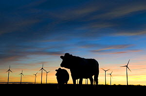 Silhouette of Cattle with wind farm in background, nr Donna Nook, Lincolnshire, UK,  -  Laurent Geslin