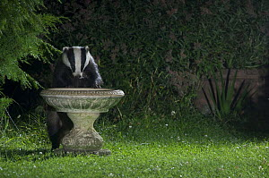 Badger {Meles meles} drinking from garden bird bath, Europe, July 2008  -  Laurent Geslin