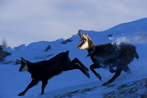 Chamois (Rupicapra rupicapra) mother and juvenile running in snow, La Dole, Jura mountains, Switzerland, January. Not for sale to magazines.  -  Laurent Geslin