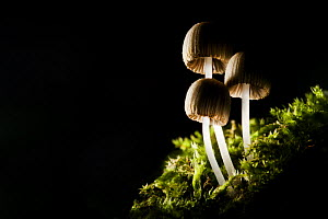 Trooping crumble cap fungus {Coprinus disseminatus} growing on a moss-covered tree stump, Peak District National Park, Derbyshire, UK. Backlit. - Alex Hyde