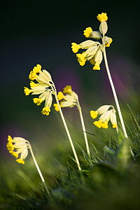 Cowslip flowers {Primula veris}, Peak District National Park, Derbyshire, UK  -  Alex Hyde