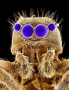 False coloured scanning electron micrograph of head of Jumping spider {Salticidae} UK - Alex Hyde