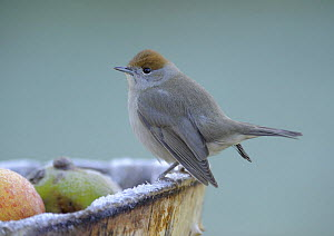 Female Blackcap (Sylvia atricapilla) perched on edge of box containing windfall apples in frost, Wirral, UK, December  -  Graham Eaton