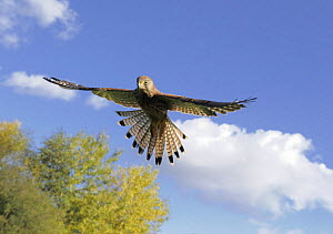 Female Kestrel (Falco tinnunculus) hovering in blue sky, Wirral, UK, October  -  Graham Eaton