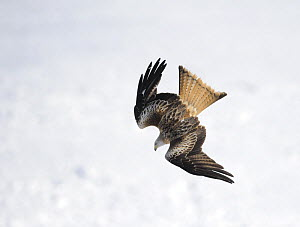 Red kite (Milvus milvus) diving in flight, Rhayader, Wales, February - Graham Eaton