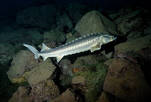Russian / Diamond sturgeon (Acipenser gueldenstaedtii) captive born and released in a flooded quarry, Lancashire, UK - Graham Eaton