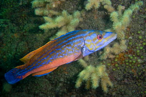 Cuckoo / Red wrasse {Labrus mixtus} male, Channel Islands, UK  -  Sue Daly